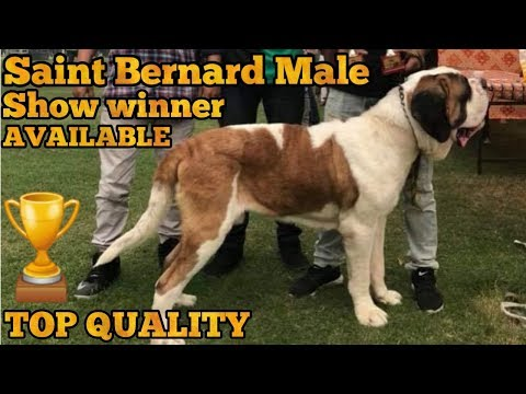 Saint bernard for sale
