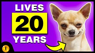 10 Longest Living Dog Breeds that stay with you forever