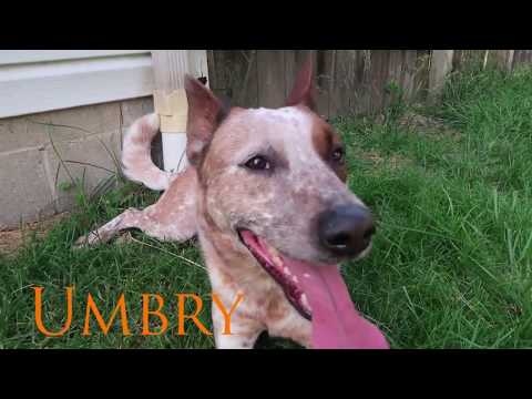 Intro Video for Cattle Dog Fam
