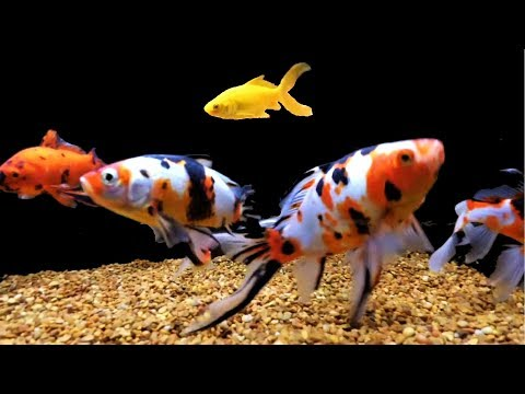 AAA Show Quality Shubunkin Sanke Gold Goldfish Sarassa Yellow Comet [blackwater Creek]
