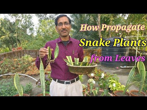 How to Propagate Snake Plant (Sansevieria) from leaf cuttings and other easiest methods.