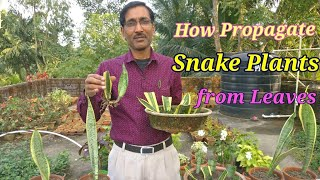 How to Propagate Snake Plant (Sansevieria) from leaf cuttings and other easiest methods. thumbnail