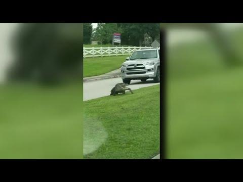 enorme caiman cruza la calle y detiene el trafico en lakeland