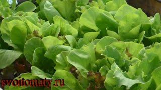 видео Как использовать салат листовой. Блюда от старости: что приготовить из листьев салата?