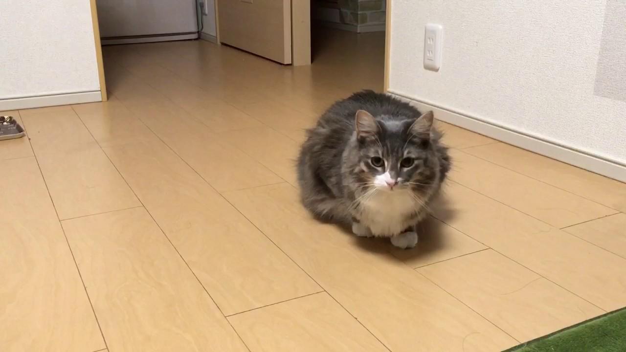 忍び足をする猫 ノルウェージャンフォレストキャットwalk stealthily.Norwegian Forest cat.
