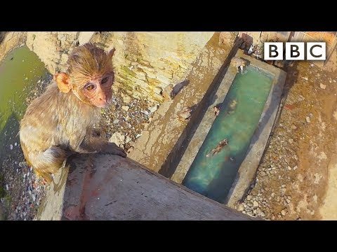 Thumbnail: Baby monkey learns to swim and tries a high dive - Spy in the Wild: Episode 4 Preview - BBC One