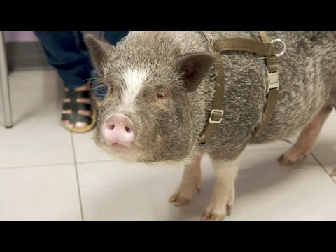 Thumbnail: Why Is This Pet Pig Humping Everything?! | The Vet Life