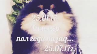 Хаммер. Померанский Шпиц - самая красивая собака !