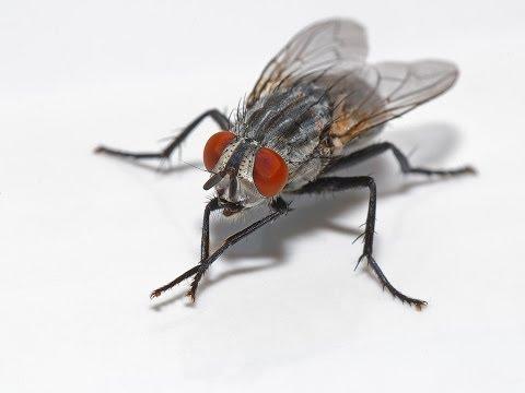 Interpretar sue�os - Significado de so�ar con moscas