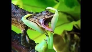 Chameleons Life
