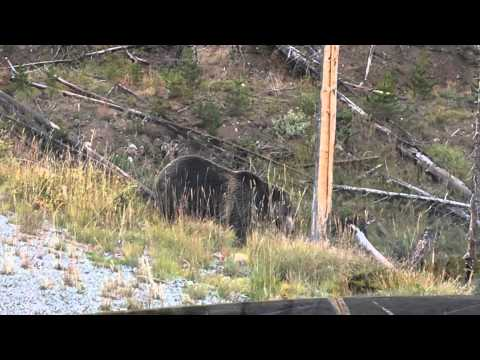 Bear in Yellowstone, roadside