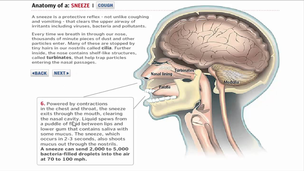 Sneezing and Cough Reflexes (5-2016) by Dr Khaled A Abulfadle - YouTube