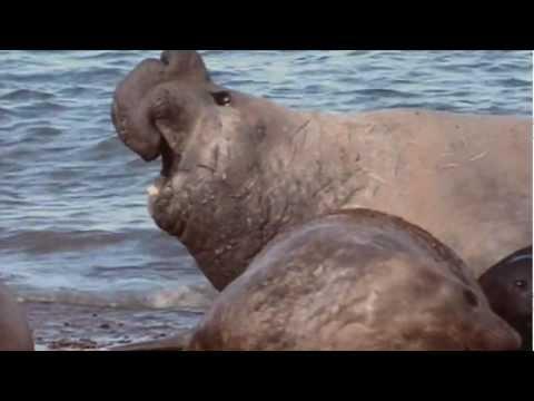 Pelea de elefantes marinos / Elephant seals fighting