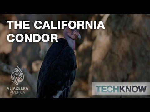 The California Condor - TechKnow