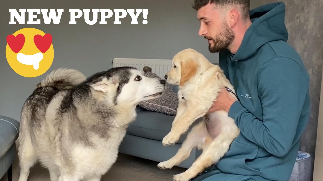 Husky Meets New Retriever Puppy!! [CUTEST REACTION EVER!!]