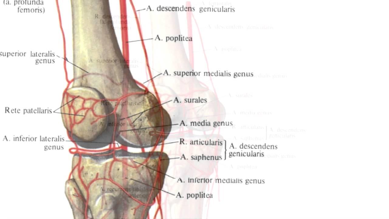 Коллатеральная сеть тазобедренного сустава движения в суставах верхней конечности