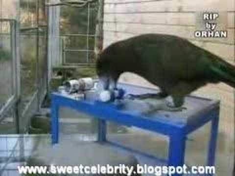 Kea parrot