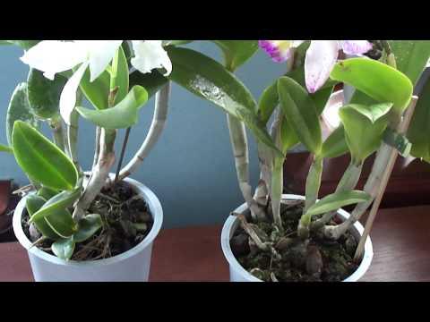 Орхидея -Каттлея. Когда поливать, удобрять.