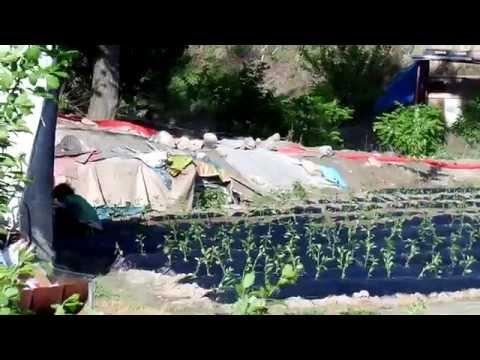 고추 재배하는 모습  ( 고추 파종하는 모습 ), Jeonju.  KOREA