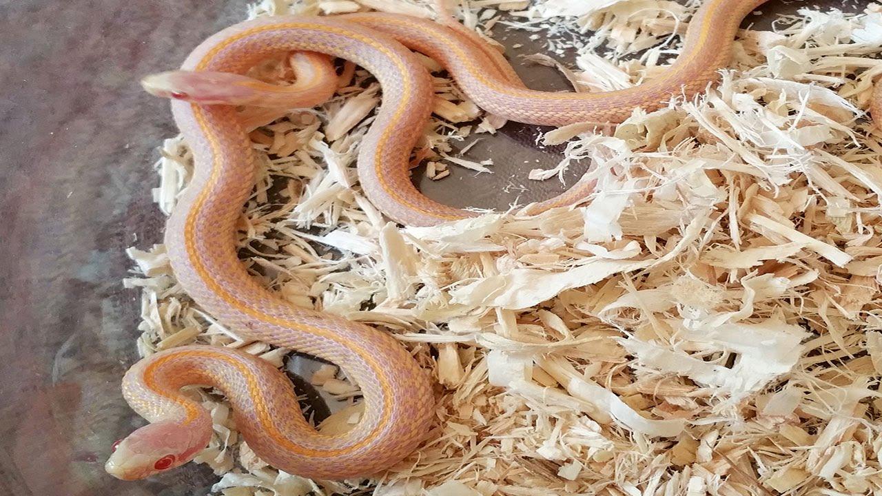 Unboxing Red Albino T-Radix Garter Snakes