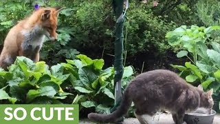 A fox and cat share an incredibly rare friendship!