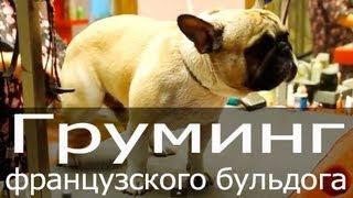 Груминг французского бульдога, стрижка когтей, мытье собаки(http://blog.thezoo.ru/ Смотрите видео по грумингу французского бульдога. Все просто и понятно! Несложный видеоурок..., 2013-09-24T13:57:32.000Z)