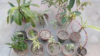 Variegated Plants   : See the Beauty Rare of  Plants with Variegated Leaves