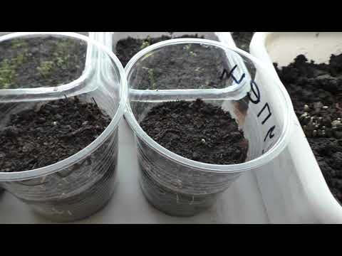Первые всходы рассады перцев появились через шесть дней после посева