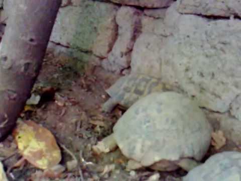 Accoppiamento tartarughe di terra che fatica mp4 youtube for Accoppiamento tartarughe