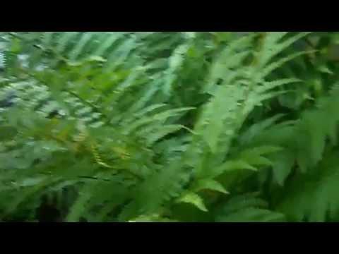 Желтеют листья папоротника -