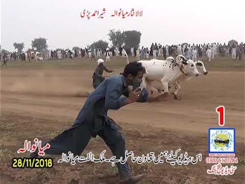 Bul Race In Pakistan Sunny Video Fateh Jang  2018  . 28 11 2018 NO1