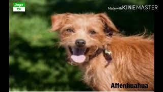 All about Affenhuahua dog | Affenhuahua dog history, size, personality, health, care, feeding, etc |