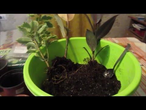 Фикус робуста – каучуконосный домашний фикус с большими листьями.