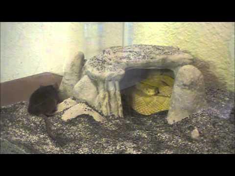 Albino Rattlesnakes attack mouse simultaniously JayTv Jordans (not a shoe review