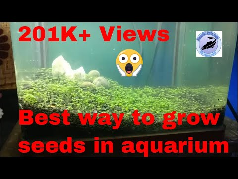 how to grow aquarium plants from seeds || carpet seeds for aquarium || Planted Tank