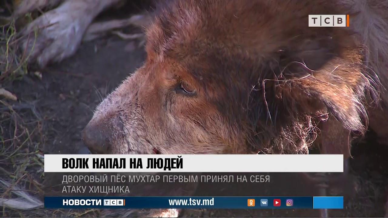 Волк напал на людей