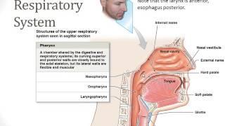 Respiratory System - Part 1
