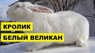Разведение кроликов породы Белый великан как бизнес идея | Кролик Белый Великан