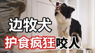 边牧犬护食疯狂咬人刚碰狗粮飞起来就咬看驯兽师如何通经过24天让它彻底改变【犬道app】