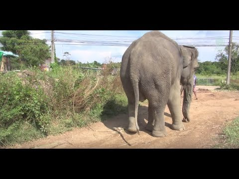 Da Lah's Long Journey home to Elephant Nature Park with an injured leg