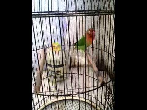 lovebird isian cililin mantap RB
