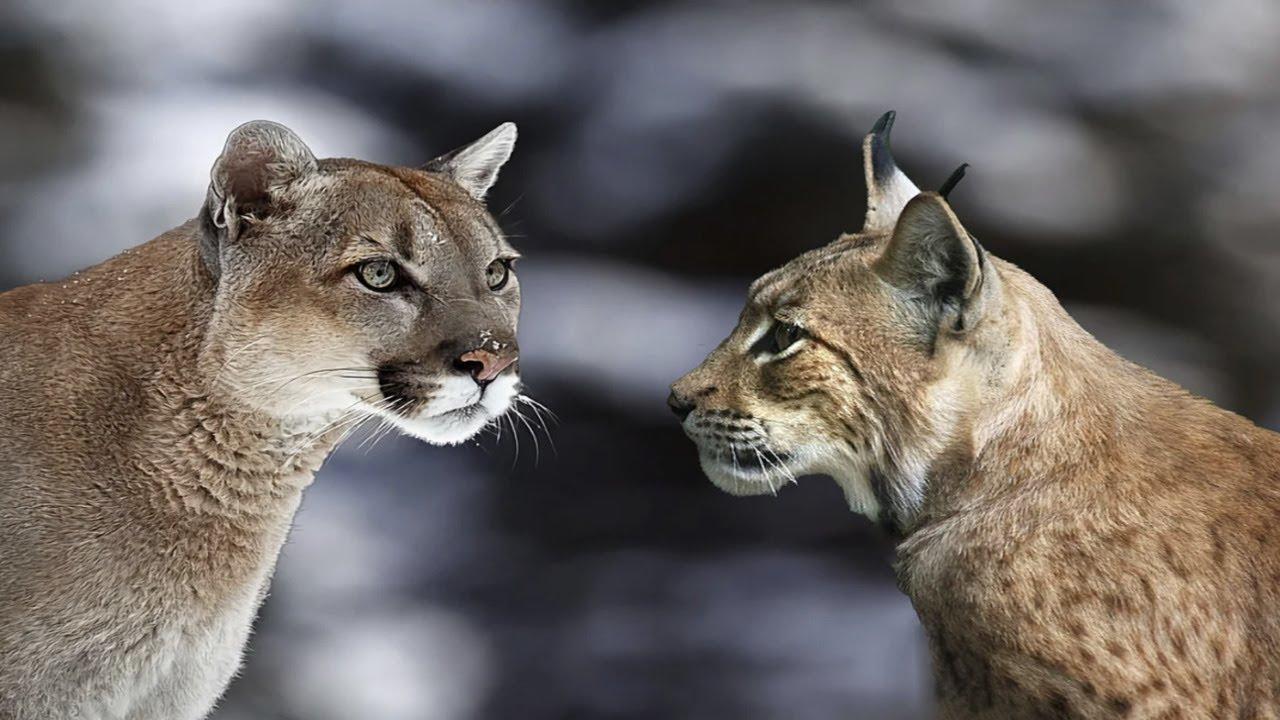 ПУМА В ДЕЛЕ! Горный лев против Рыси, Гуанако, Орла, Ленивца, Оленя и Капибары