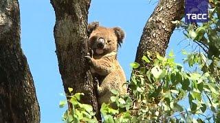 В Австралии ученые спасают коал: для животных, которые обычно вообще не пьют, построили поилки