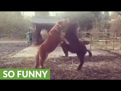 Pony youngsters wrestle and chase each other