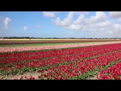 Traveller: The Netherlands, Lisse, tulip fields