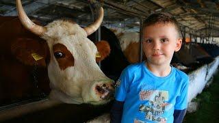 Молочная ферма. Как кормить коров и телят?