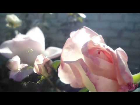 Цветы астры – фото, выращивание, сорта астр. Уход за