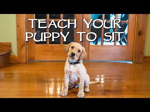 Labrador Retriever Clicker Train Your Puppy To Sit - Gun Dog Training