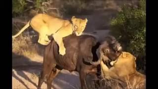【動物界の真実】ライオンVs水牛 ライオンが水牛を狩る 【関連動画】 【...