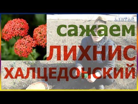 Сажаем лихнис халцедонский Как посадить лихнис посадка уход выращивание